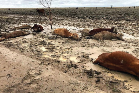 Julia Creed Flood - Dead animals after flood (Images from https://www.straitstimes.com/asia/australianz/sea-of-dead-cattle-after-australia-floods)